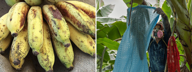 Bananas damaged by red rust thrips